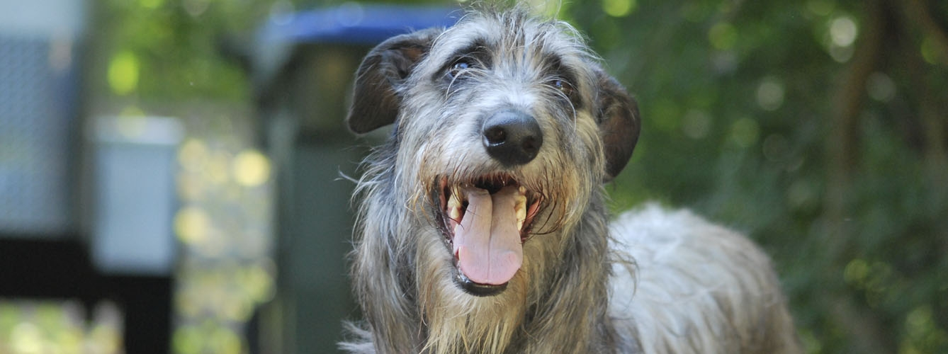 Ejemplar de scottish deerhound.