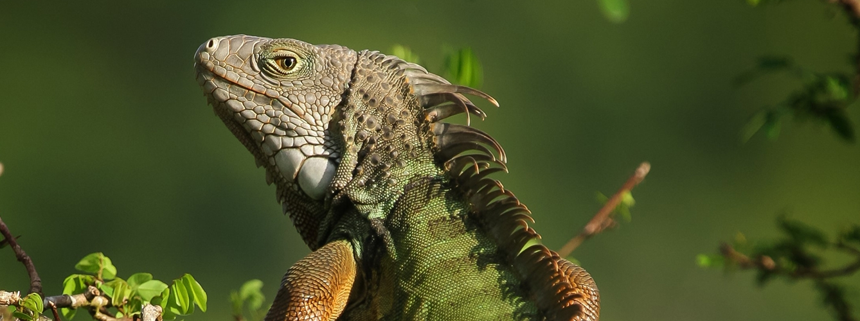 https://www.animalshealth.es/fileuploads/news/green-iguana-iguana-verde-foto-matthew-sileo-11.jpg