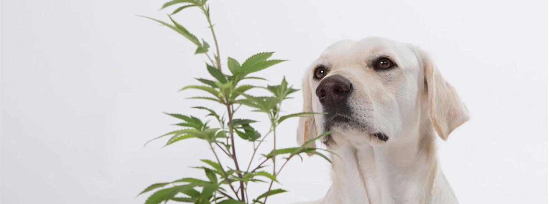 investigan-tratamiento-con-cannabis-para-el-cáncer-de-vejiga-canino
