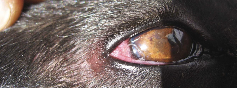 parásitos oculares en perros